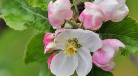 Angespannte Lage für Burgenlands Obstbauern