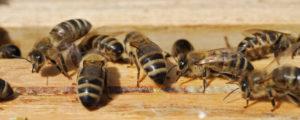 Bienen: Weniger Imker, aber mehr Völker