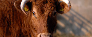 Ernährungsreport: Konsumenten würden Tierwohl bezahlen