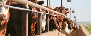 USA drängen auf europäischen Rindfleischmarkt