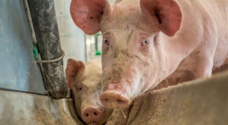 Schweine: Begrenztes Angebot, behauptete Preise