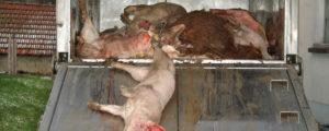 Afrikanische Schweinepest in Europa eingedämmt