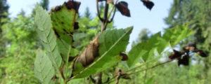 Fieberhafte Suche nach Mittel gegen Eschensterben