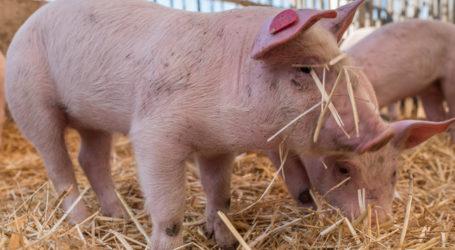 Raumberg-Gumpenstein erhält neuen Schweine-Forschungsstall