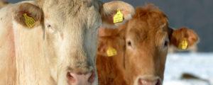 Zahl der Rinder in der Fleischleistungsprüfung steigt