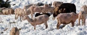 Mehr Rinder, Schafe und Ziegen, aber weniger Schweine
