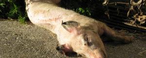 Ukraine bekommt Afrikanische Schweinepest nicht in den Griff