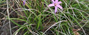 Forscher sequenzieren trockenheitstolerante Pflanze