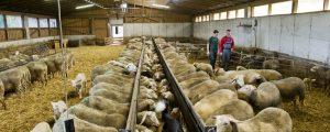 Schafmilcherzeugung soll ausgebaut werden