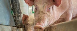 Gute Nachfrage nach Mastschweinen
