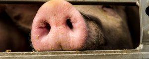 Mastschweine: Rege Nachfrage trifft geringeres Angebot
