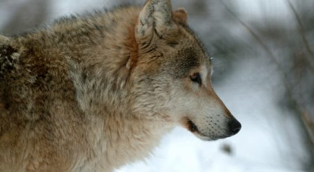 Kärnten: Landesrat will Schutz vom Großräubern überdenken