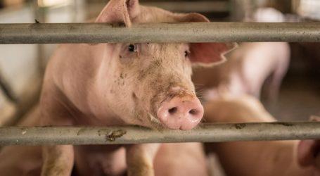 Gentechnik: Greenpeace sieht Schweinewirtschaft in der Pflicht