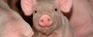 Schweinemarkt gut geräumt