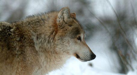 Deutsche Weidetierhalter protestieren gegen Ausbreitung des Wolfes