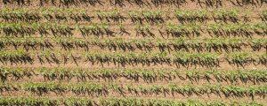 Weltweit immer mehr Gen-Anbauflächen