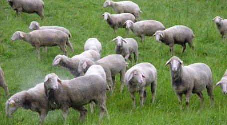 Wolf reißt Schafe im Stubaital