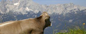 Vorarlberg vor Alpsaison TBC-frei