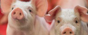 Schweinepreise erholen sich nachhaltig