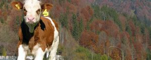 Rinderzuchtverband Tirol verdreifacht