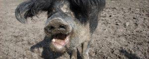 Afrikanische Schweinepest: Freilandhaltung eingeschränkt