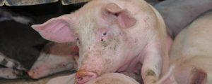 Teurere Schweine nehmen Europa Wettbewerbskraft