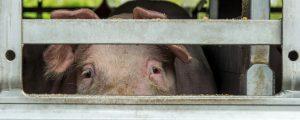 Kammer: Missstände in Schweinemast lückenlos aufklären