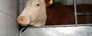 NÖM erhöht Milchpreis um 1,5 Cent