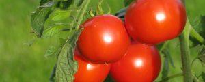Guter Saisonverlauf für LGV-Gemüsebauern