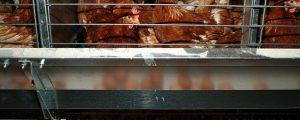Fipronil in Import-Eiern nachgewiesen