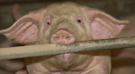 Tschechien sperrt Schweinepest-Gebiete ab