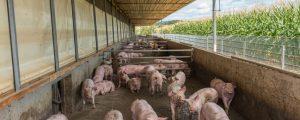 Unveränderte Mastschweine-Notierung