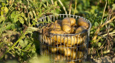 Angst vor Glyphosat bei Kartoffeln