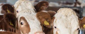 Rinderzucht stark von Türkei abhängig