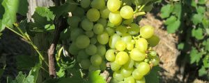 Weinbau breitet sich in Oberösterreich aus