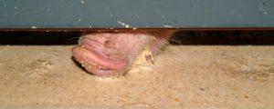 Schweinemastskandal: Keine weiteren Auffälligkeiten
