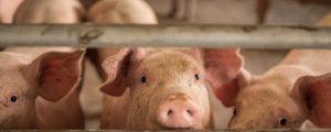 Wettbewerb bei Schweinen verschärft sich