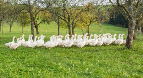 Weideganssaison im Burgenland beginnt
