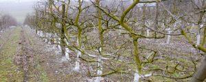 Weißanstriche schützen Obstbäume