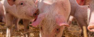 Deutschland bereitet sich auf Schweinepest vor