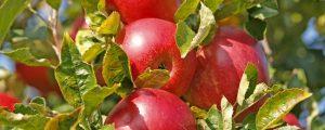 Apfelerntemenge Hälfte von einem Normaljahr