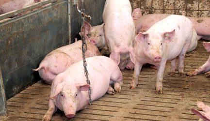 Was die PRRS-Impfung für die Schweinemast bringt