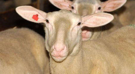 Iran will Rinder und Schafe aus Europa importieren