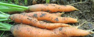 Gemüseernte witterungsbedingt leicht rückläufig