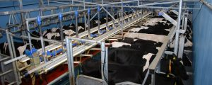 Niederlande begrenzen Milchmenge über Phosphatrechte