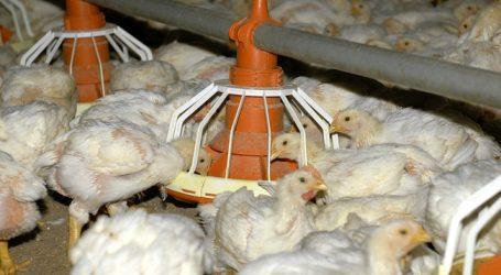 Geflügel-Antibiotikaverbrauch besser vergleichbar
