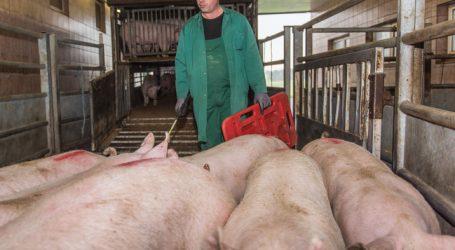 Überangebot senkt den Schweinepreis