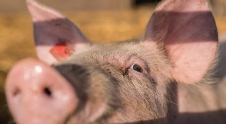 """Schweinepest-Auswirkungen wären """"kaum vorstellbar"""""""
