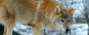 """Wölfe für Schultes """"keine gefährdete Tierart"""""""