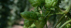 Hopfenbauern kooperieren mit heimischen Brauern